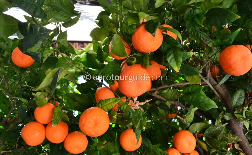 Orange Trees of the Vega Baja Alicante  Spain