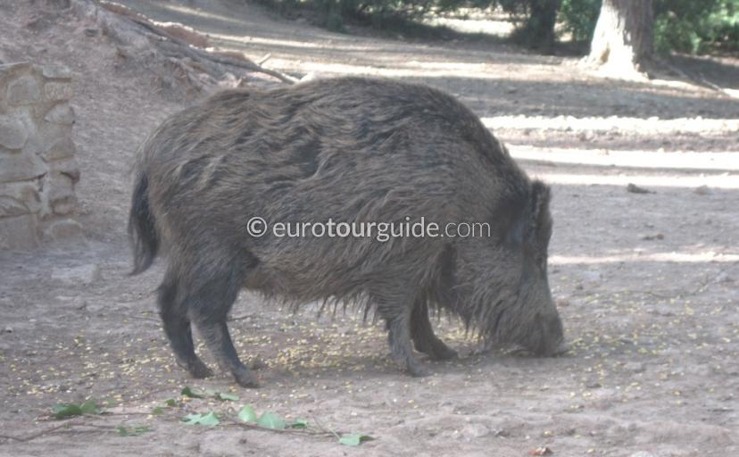 What to see in Sierra Espuna Regional Park Murcia Spain, wild boar in the Recreation area del hilo is one of many things to do and places to visit